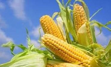 Obligados a la sintonía fina en maíz